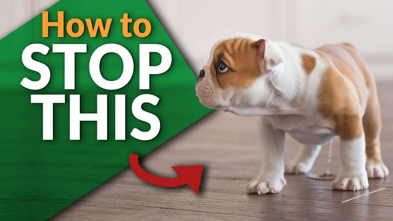 Stop your Puppy From Peeing Inside!